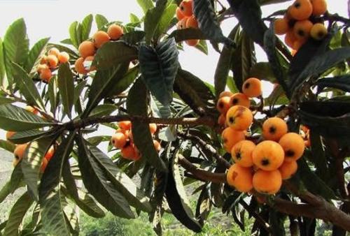 枇杷种植技术与管理 枇杷栽培技术要点