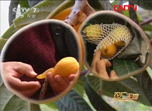 农广天地枇杷种植技术视频(上)