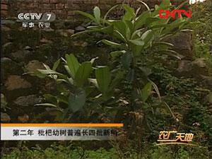 农广天地枇杷种植技术视频(下)
